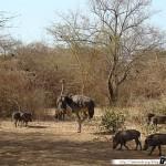 Sénégal 10 - 110310 - Réserve de Bandia - Autruche & Phacochère