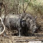 Sénégal 14 - 110310 - Réserve de Bandia - Rhinocéros