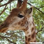 Sénégal 15 - 110310 - Réserve de Bandia - Girafe