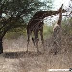 Sénégal 16 - 110310 - Réserve de Bandia - Girafe