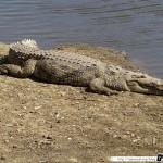 Sénégal 19 - 110310 - Réserve de Bandia - Crocodile