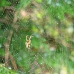 Araignée de la coulée verte 04