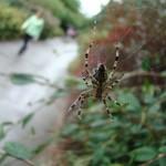 Araignée de la coulée verte 07