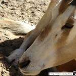 Zoo de la Palmyre 08 - 070411