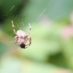 Araignée de la coulée verte 02 - Bon appétit