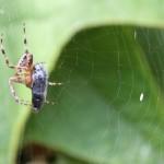 Araignée de la coulée verte 03 - Bon appétit